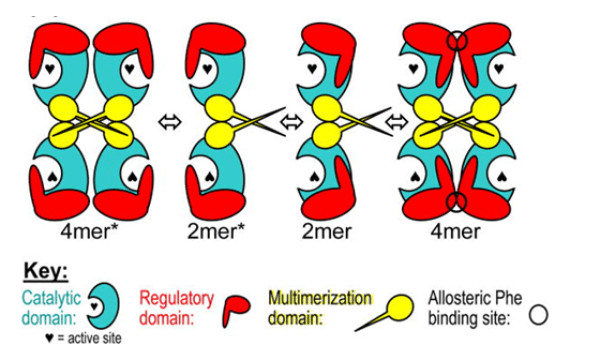 Allosteric model of homotetramer with the 4mer on the right being the active conformation of the enzyme.