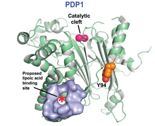 Tyr-94 Phosphorylation, PDP1, and the Warburg Effect