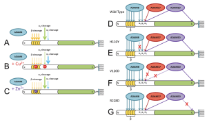 Figure 6. Various cleavage sites of prion protein by ADAMs. (McDonald et. al. 2014)