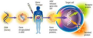 Gene therapy involves the implementation of a foreign gene into a patient with a given disease. In the case of Gaucher's Disease, this would involve the implementation of the wild-type GBA gene into the patient. AAV stands for aden-associated virus, which is simply a small virus carrying the foreign gene. Source: cisncancer.org