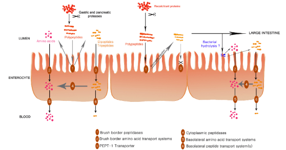 Protein digestion and absorption in the small intestine. Proteins are hydrolyzed to amino acids, dipeptides, or tripeptides, and eventually transported through enterocytes past the intestinal mucosa. Peptidase resistant peptides, such as gluten proteins, remain in the lumen as they cannot pass through the membrane. Source: Caminero et. Al,