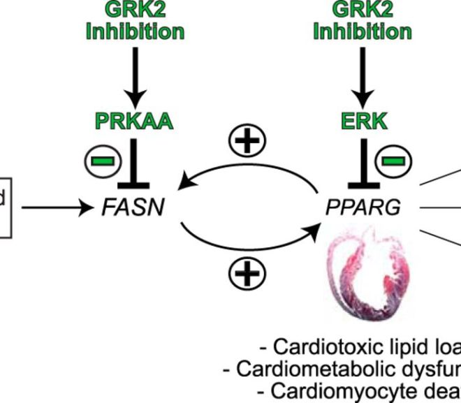 GRK-2: A Potential Target for Therapeutic Drugs Treating Heart Failure