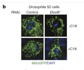 'Stear'ing Down the New Mitochondrial Regulatory Pathway