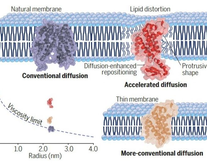 Protein Power: Distortion of the Lipid Bilayer by Rhomboid Proteases