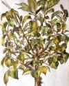árbol Pau Pellin