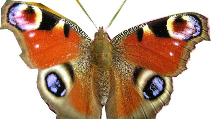 avatar-mariposa