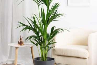 planta kentia de interior