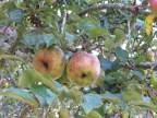 Pretty apples.