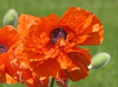 I love poppies too