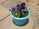 I did purple petunias in teal pots up our walkway - they were so pretty!