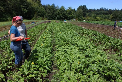 Mel & Alex evaluating beets at UBC Farm. Credits: Chris Thorea