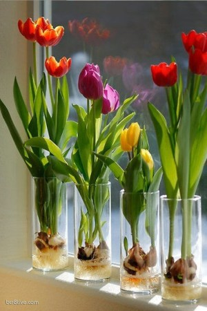 Forced Tulips