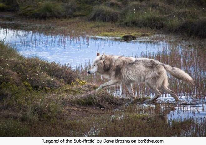 Legend of the Sub-Arctic - Dave Brosha