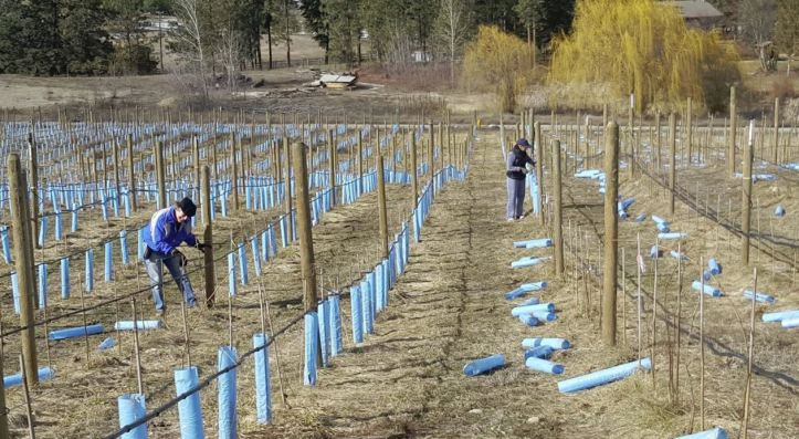 Family pruning young vines