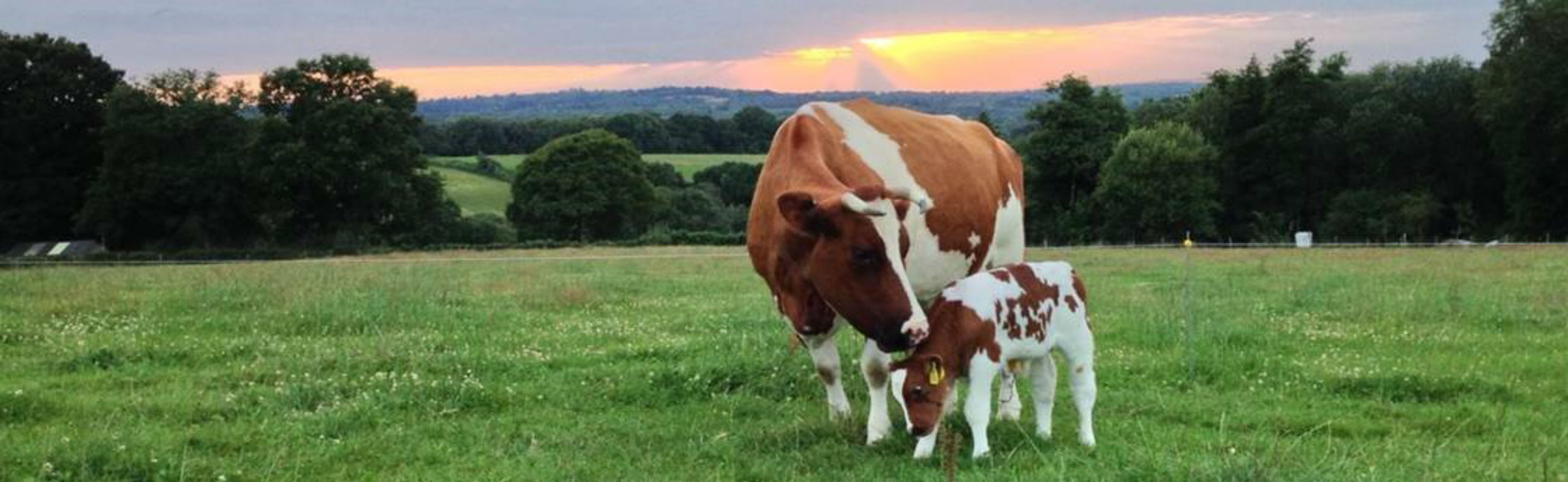 Cow and calf for slider