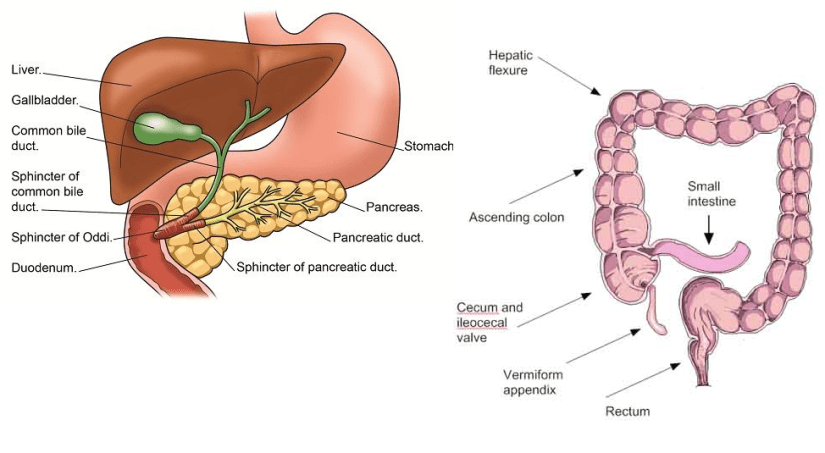 Bile and cholesterol is released by the gall bladder. Excess is excreted in feces