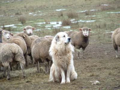 moutons et chien patou