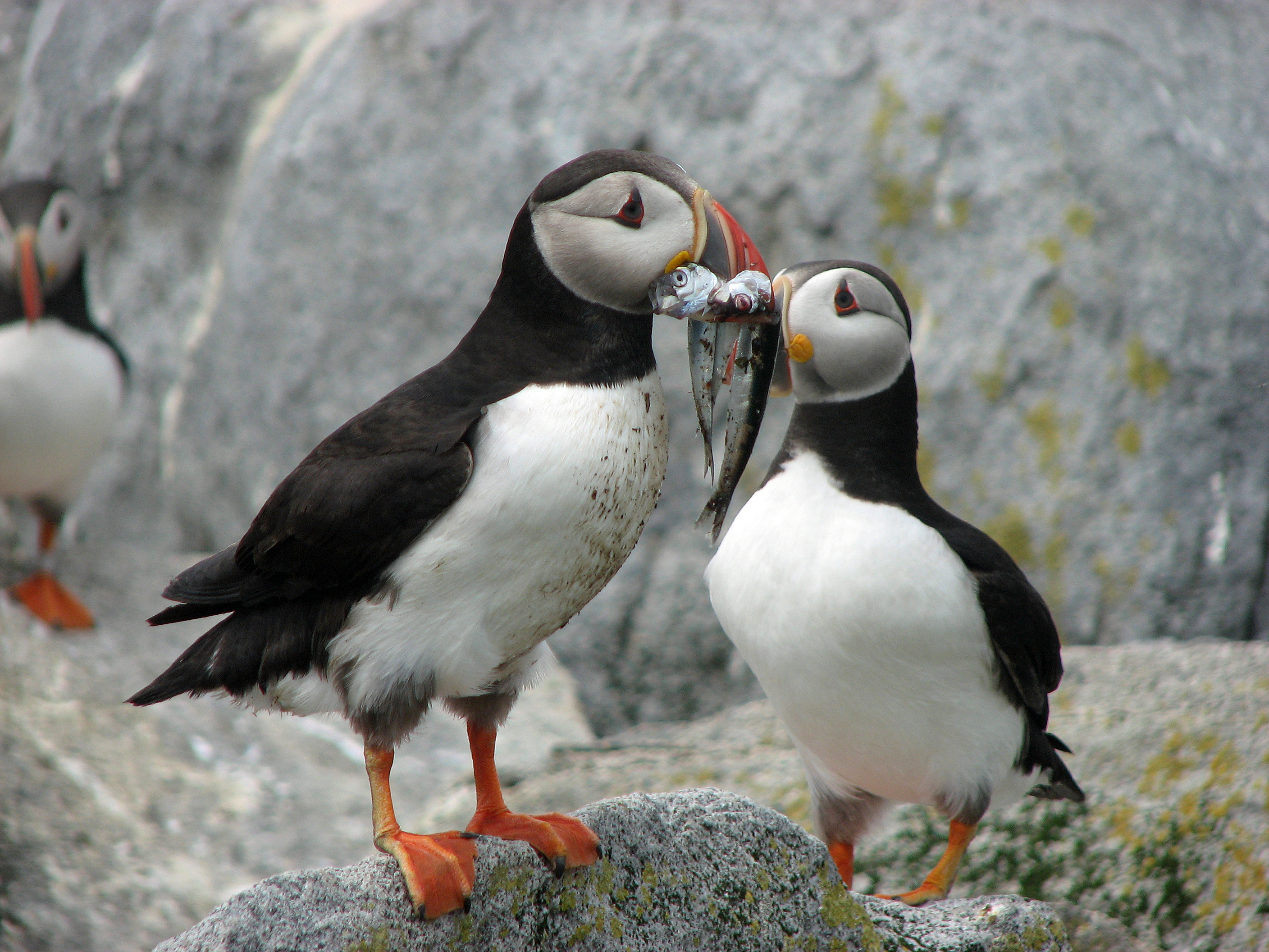 This Holiday Season Give The Gift Of Puffins