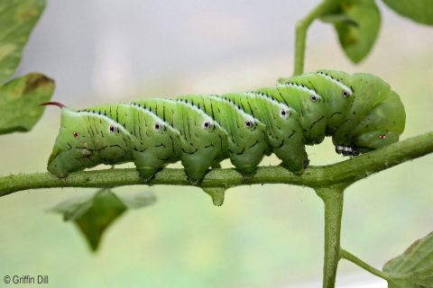 Gardeners should look for and destroy tobacco hornworms munching on tomato plants