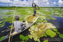 Water Lilly is Bangladesh National Flower - Taken By Selim Azad