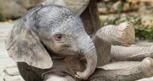 Újszülött kiselefánt a bécsi állatkertben