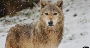 A farkas a hónap állata a Budakeszi Vadasparkban