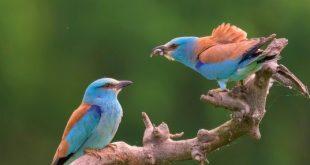 Magyarország madarai: Szalakóta (4.rész)
