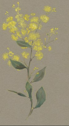 A Acacia myrtifolia