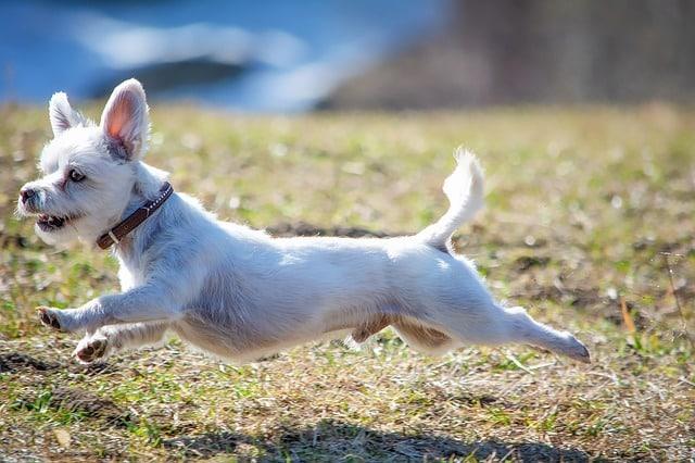 tapis de course pour chien ca existe