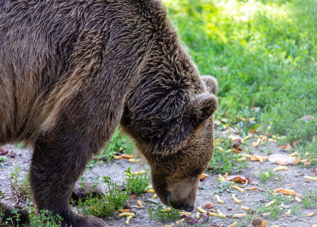 Bear foraging