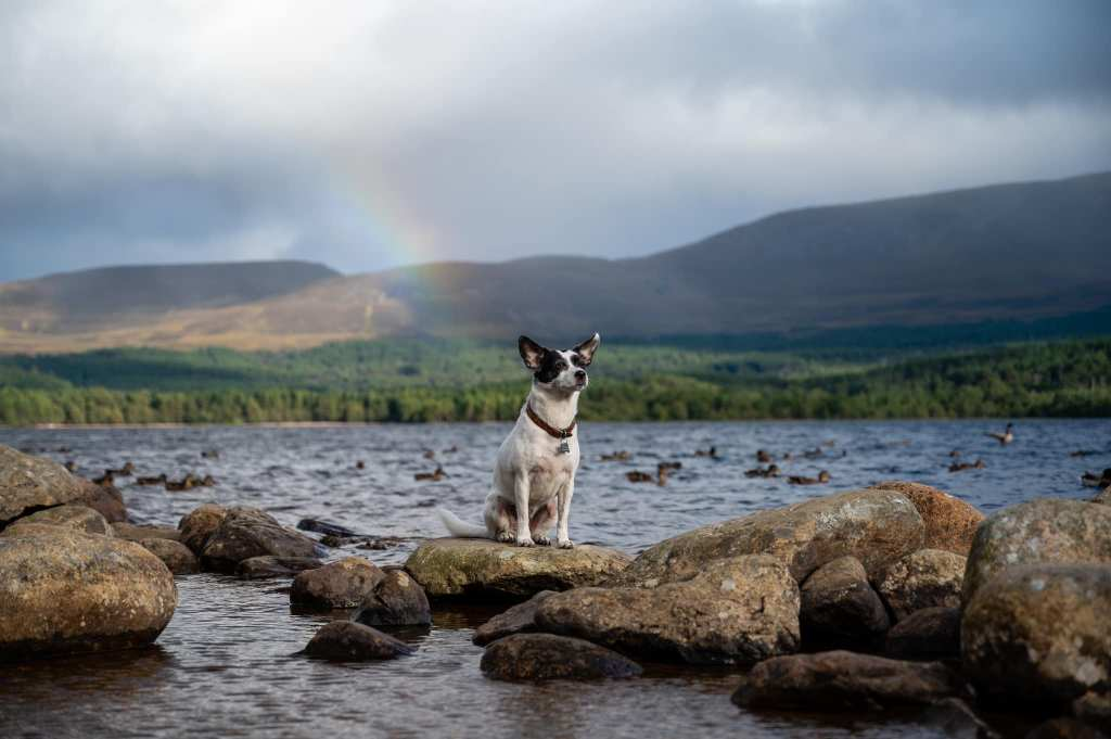 Suki with her ears on point in Loch Morich with the Cairngorms in the background