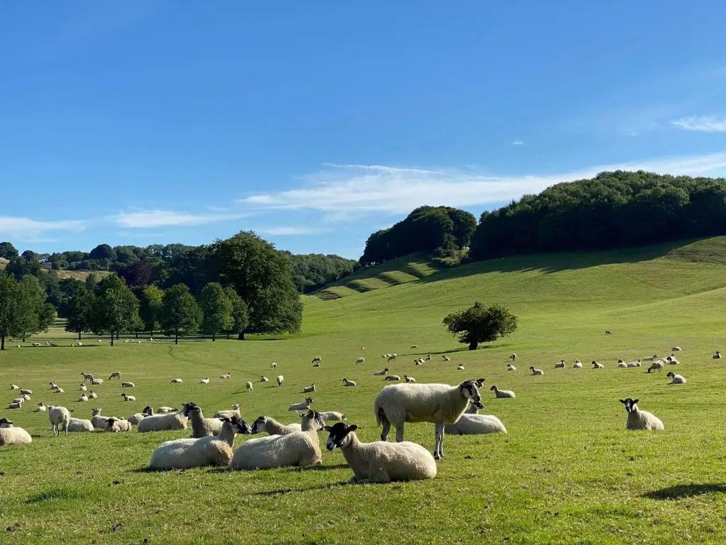 A flock of sheep sunbathing on Doddington Estate