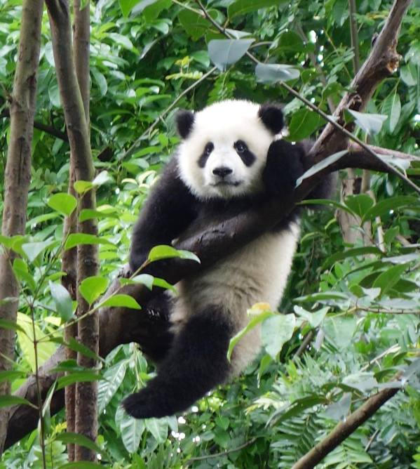 Baby panda hanging off a tree