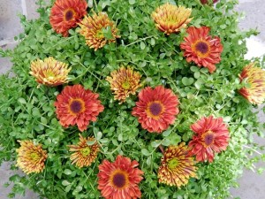 autumn colors of mums