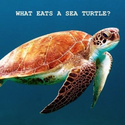 what eats a sea turtle