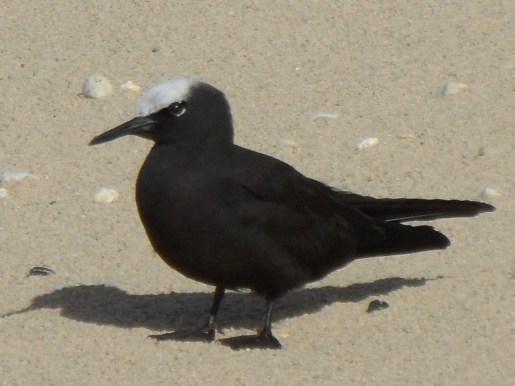 Black_Noddy_Anous_minutus_North_Beach_LordHoweIsland_6June2011