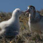 Amsterdam Albatross – World's Rarest Seabird