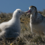 Amsterdam Albatross – World's Rarest Seabird