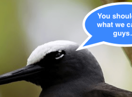 black noddy tern