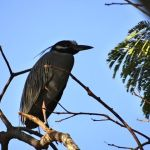 The Yellow-Crowned Night Heron – Seabird Or Bird That Just Hangs Out Near Water?