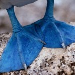Blue-Footed Boobies – Daddy Needs A New Pair Of Shoes