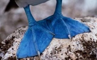 boobies blue foot
