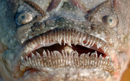 stargazer fish