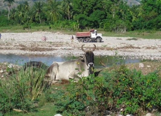 gelee beach haiti cow