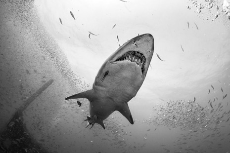 old-black-and-white-photo-of-a-shark-underwater