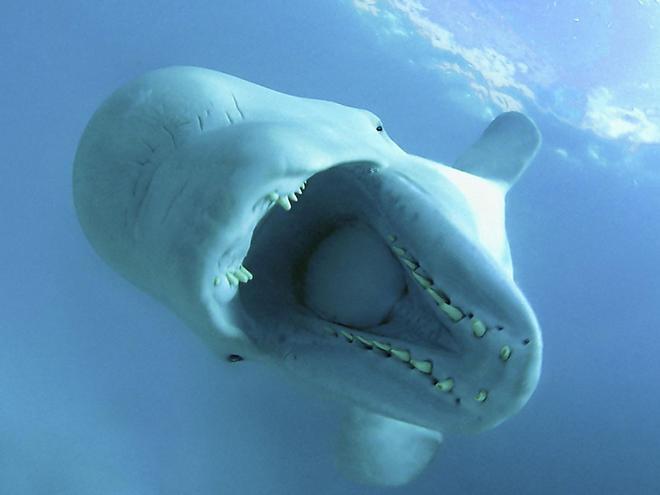 Beluga whales Churchill