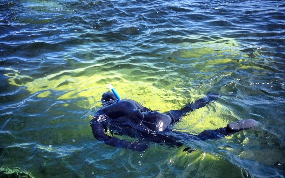 Snorkelling with beluga whale