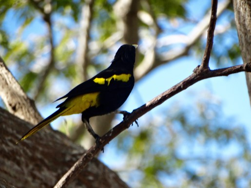 Yellow-Rumped Cacique Bird