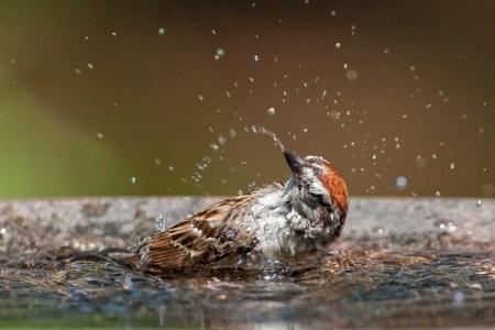 Sparrow-bathing-in-water