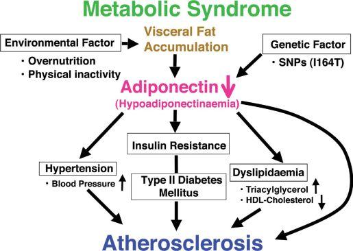 adiponectin diagram